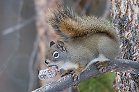 Red Squirrel with pine cone it has dug out of the snow.  Western U.S., winter.