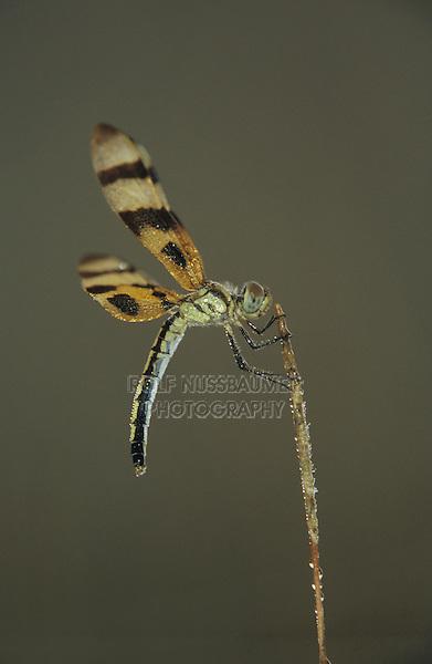 Halloween Pennant, Celithemis eponina, female with dew, Welder Wildlife Refuge, Sinton, Texas, USA, May 2005