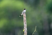 A Loggerhead Kingbird (Tyrannus caudifasciatus) at a favored lookout perch in Hacienda Cortina, Pinar del Rio Province, Cuba
