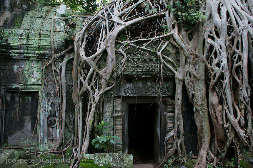 roots of trees growing over ruins of Bantheay Kdei temple, Angkor Wat, Cambodia, framing an acient entrance
