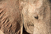 Close up of the African Elephant face caked in mud.