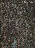 0507-08uu  Camouflaged Flat-tailed House Gecko, Cosymbotus platyurus © David Kuhn/Dwight Kuhn Photography