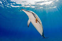 spinner dolphin, Stenella longirostris, playing by carrying a leaf on pectoral fin, Hawaii ( Central Pacific Ocean )