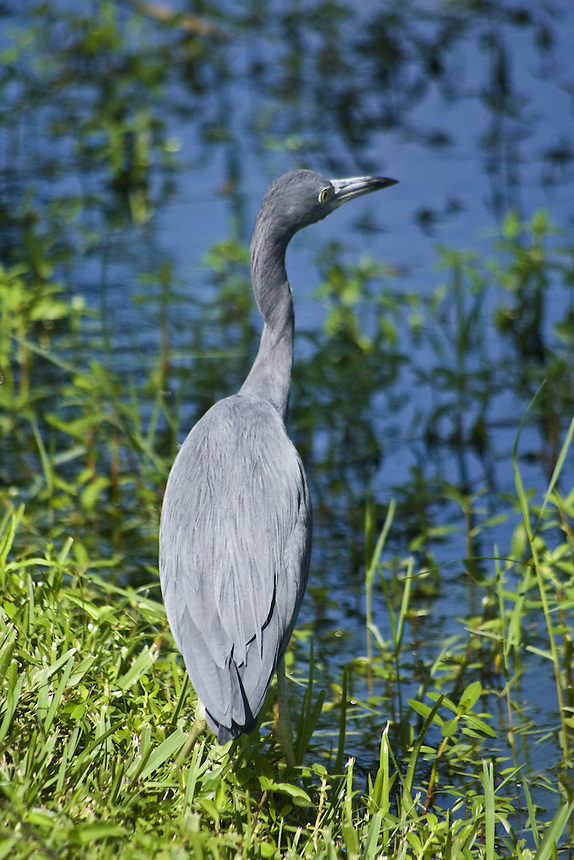 Little blue heron, Mirror Lake, Lakeland, Florida