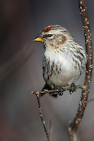 Common redpoll perched on a branch