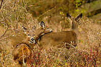 A trio of Whitetail Deer, Odocoileus virginianus, at Five Rivers Environmental Center in Delmar, New York