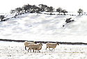 11/03/13 ..As temperatures continue to plummet sheep try to stay warm near Bakewell, Derbyshire...All Rights Reserved - F Stop Press.  www.fstoppress.com. Tel: +44 (0)1335 300098.