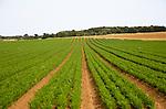 Lines of carrots growing in a field in Sandlings former heathland, Sutton, Suffolk, England, UK