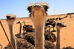 Close-up a line of ostriches stretching to the horizon on an ostrich farm in Israel's desert, Ze'elim, southern Israel, March 22, 2008. Much of Israel's Negev Desert is home to a variety of experimental agricultural projects. Photo by: Tess Scheflan/JINI...