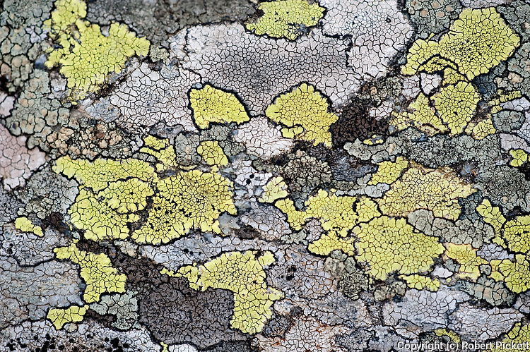 Map Lichen, Rhizocarpon geographicum, on rocks, Fagaras Mountains, Transylvanian Carpathians Alps, Romania, clear air indicator, non polluted, flat patch bordered by a black line of spores