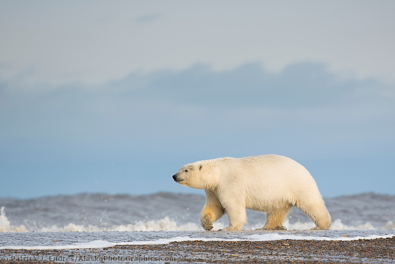 Polar bear walks along a barrier island along the Alaska coast in the Arctic National Wildlife Refuge.