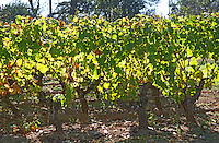 Semillon vines in the vineyard backlit in sunshine on the typical Barsac soil.  Chateau Caillou, Grand Cru Classe, Barsac, Sauternes, Bordeaux, Aquitaine, Gironde, France, Europe