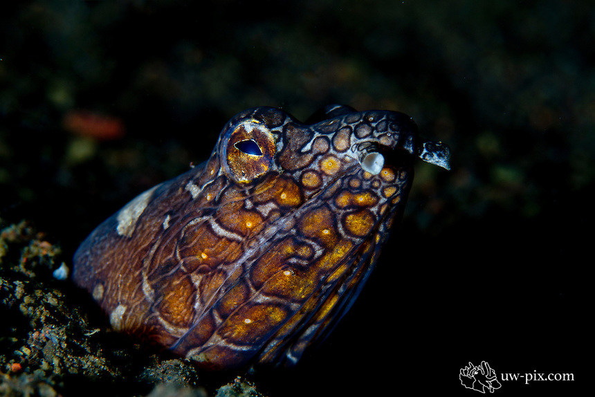 Napoleon Snake Eel (Ophichthus bonaparti) at Tulamben, Bali, Indonesia<br /> Ophichthidae is a family of eels, comprising species commonly called worm eels and snake eels. The term &quot;Ophichthidae&quot; comes from Greek ophis (&quot;serpent&quot;) and ichthys (&quot;fish&quot;).<br /> Ophichthids are found worldwide in tropical to warm temperate waters. They inhabit a wide range of habitats, from coastal shallows, and even rivers, to depths of above 750 metres. Most species are bottom dwellers, hiding in mud or sand to capture their prey of crustaceans and small fish, but some are pelagic.[2]<br /> Ophichthid species range from 10 centimetres (3.9 in) to 3 metres (9.8 ft) in length. Many species lack fins altogether, improving their ability to burrow into the substrate like worms. They are often spotted or striped in colour, mimicking the appearance of venomous sea snakes to deter predators.