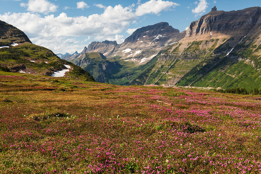 Magenta flowers carpet the ground along Logan Pass in Glacier National Park, Montana.