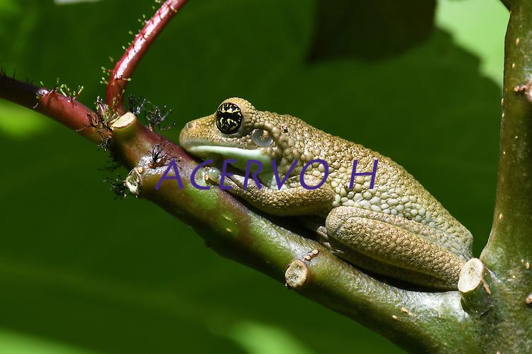 Trachycephalus typhonius (Sapo-cunauaru). A crença popular diz que a secreção que ele expele elimina verrugas em humanos.<br /> <br /> <br /> ALTINO_MACHADO