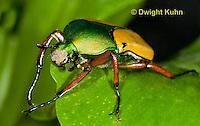 1C37-514z  Scarab Beetle, Eudicella smithii, Africa