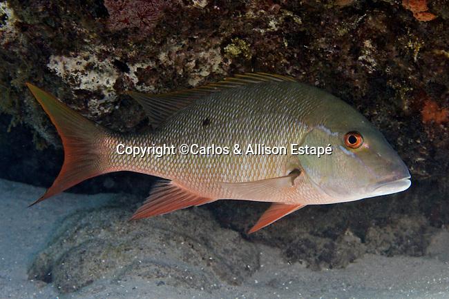 Lutjanus analis, Mutton snapper, Florida Keys