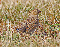 First-winter female McCown's longspur in early January