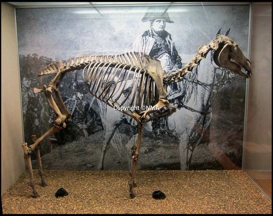 BNPS.co.uk (01202 558833)<br /> Pic: NMA/BNPS<br /> <br /> Former pose appeared dull and lifeless.<br /> <br /> Napoleons famous horse given some much needed 'Joie de vivre' by a National Army Museum conservation - The new poised hind legs and cocked fore leg and head breathe life into the 200 year old skeleton.<br /> <br /> Emperor Napoleon's famous warhorse Marengo, immortalised in David's famous painting, was captured on the battlefield of Waterloo after Napoleon had fled.<br /> <br /> The diminutive Arabian stallion was brought back to Britain, and after its death the skeleton was carefully preserved and put on display in a rather dull and lifeless pose.<br /> <br /> British experts have spent two years picking apart, reconditioning and reassembling the aged and delicate bones of Marengo ahead of his installation at the new National Army Museum in Chelsea, west London.