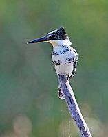 Female green kingfisher
