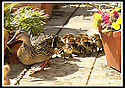14/05/2002                   Collect Pic : James Stewart.File Name : stewart-ducklings 03.THE MOTHER DUCK AND DUCKLINGS MAKE THEIR WAY AROUND THE ROOF TOP GARDEN IN ST.ANDREWS.......(see copy from George Mair / Tim Bugler).......Payments to :-.James Stewart Photo Agency, 19 Carronlea Drive, Falkirk. FK2 8DN      Vat Reg No. 607 6932 25.Office     : +44 (0)1324 570906     .Mobile  : +44 (0)7721 416997.Fax         :  +44 (0)1324 570906.E-mail  :  jim@jspa.co.uk.If you require further information then contact Jim Stewart on any of the numbers above.........