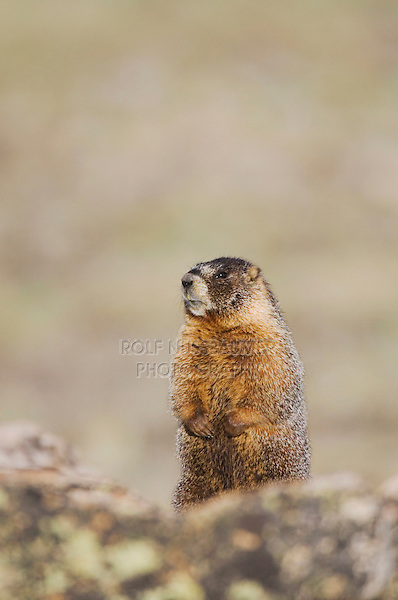 Yellow-bellied Marmot,Marmota flaviventris,adult standing on rock boulder,Rocky Mountain National Park, Colorado, USA, June 2007