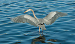 Great Blue Heron.Ardea herodias at Balboa Lake Los Angeles, Ca. January 26, 2009. Fitzroy Barrett