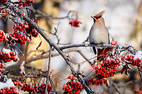 Bohemian Waxwing birds perch and eat berries in Mountain Ash tree in midtown Anchorage.  Winter