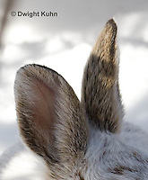 MA19-504p  Snowshoe Hare camouflaged in snow, Lepus americanus, Ears cropped from entire animal portrait