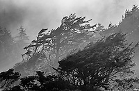 Cypress and fog, Cape Perpetua, Oregon