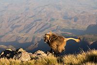 Male Gelada monkey running on the edge of the escarpment