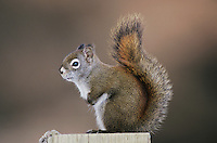 Red Squirrel, Pine Squirrel, Tamiasciurus hudsonicus, adult, Homer, Alaska, USA, March 2000