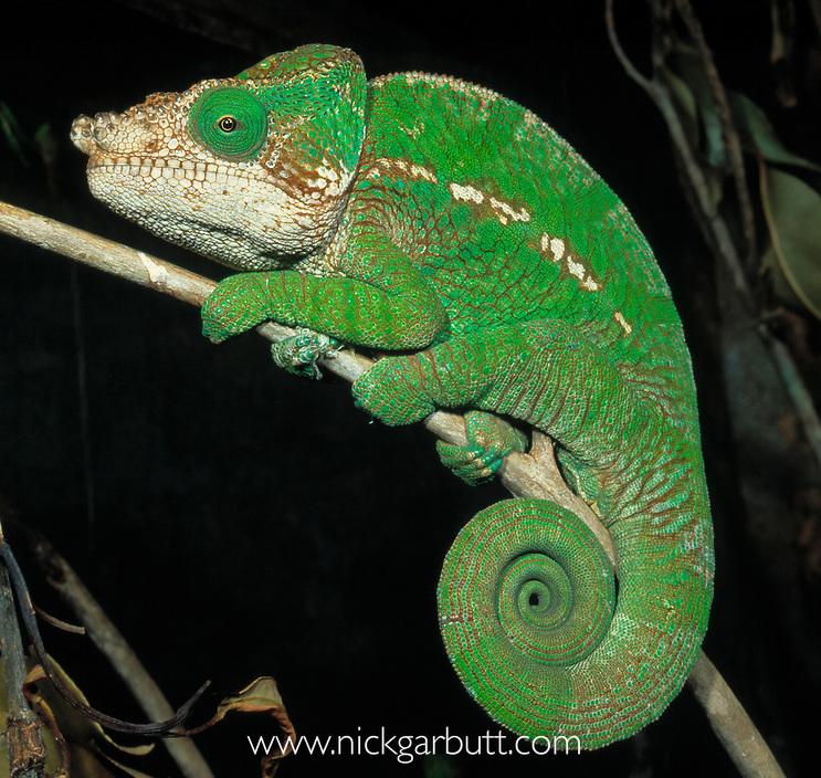 Male Globe-head Chameleon (Calumma globifer), montane rainforest near Anjozorobe, central Madagascar.