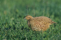 Grey Partridge, Perdix perdix, female, Fretterans, France, May 1999