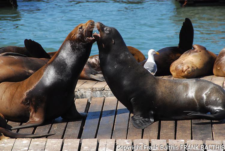 Bull CA sea lions argue at Pier 39