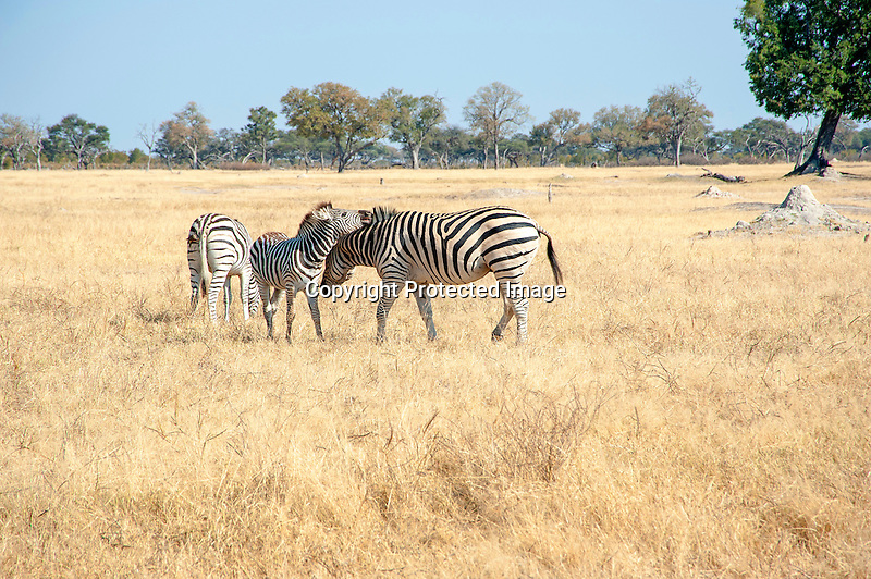 Zebra Nuzzle in the Savanna of Hwange National Park in Zimbabwe