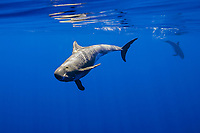 pygmy killer whales, Feressa attenuata, Kona Coast, Big Island, Hawaii, USA, Pacific Ocean