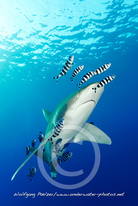 Carcharhinus longimanus, Naucrates ductor, Weissspitzen Hochseehai mit Pilotfischen, Oceanic whitetip shark with pilot fish, pilotfish, Daedalus Riff, Rotes Meer, Ägypten, Daedalus Reef, Red Sea Egypt