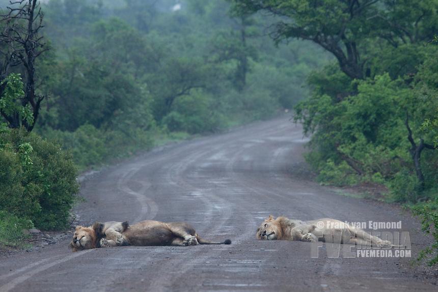 Two male Lions (Panthera leo) enjoying lying out in the rain..Hluhluwe-Imfolozi Game Reserve, Kwazulu-Natal, South Africa. November 2010.