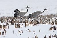 Kranich, Kraniche bei der Futtersuche auf einem Maisacker, Acker im Winter bei Schnee, Grus grus, Crane, Grue cendrée