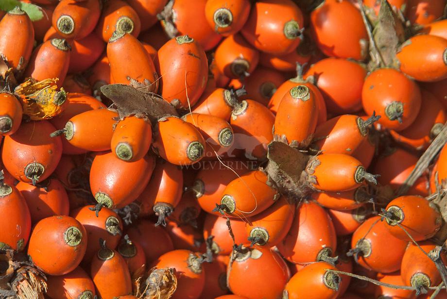 oliepalm (Elaeis guineensis) zaden