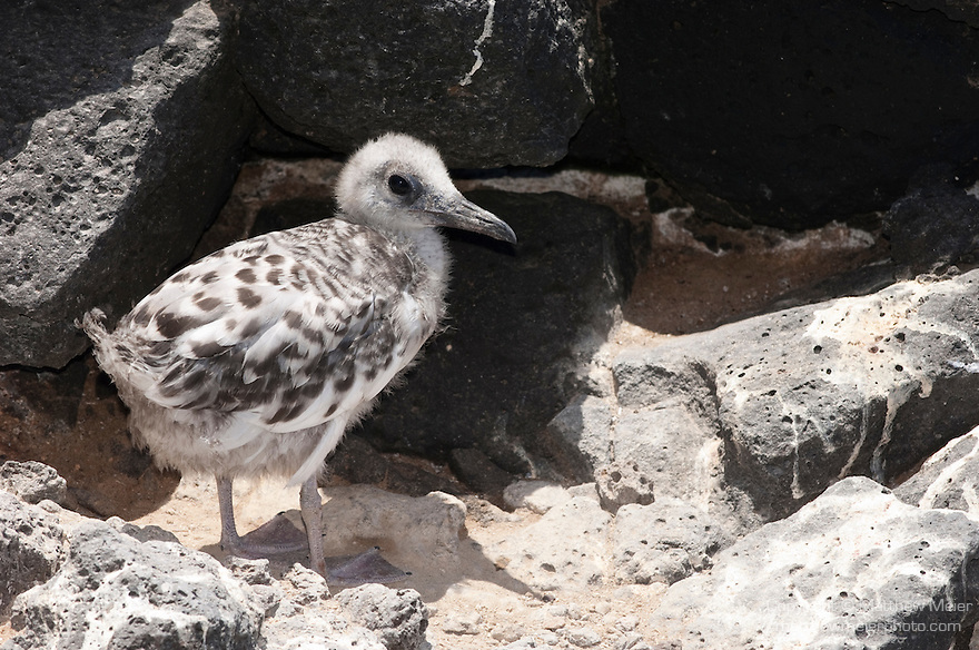 South Plazas Island, Galapagos, Ecuador; a Swallow-tailed Gull (Creagrus furcatus) chick sits on the edge of the rocky shorline overlooking the Pacific Ocean , Copyright © Matthew Meier, matthewmeierphoto.com All Rights Reserved