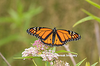03536-05408 Monarch Butterfly (Danus plexippus) on Swamp Milkweed (Asclepias incarnata), Marion Co., IL
