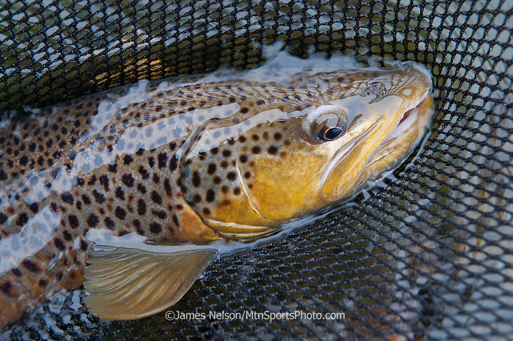 Male brown trout in a landing net during an autumn day on the South Fork of the Snake River, Idaho.