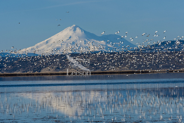Mount Shasta with snow geese during late winter/early spring migration.  Lower Klamath National Wildlife Refuge, California-Oregon border.  Early morning.