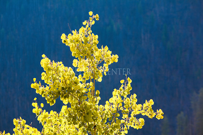 The top of an aspen tree in fall color against a backdrop of a shaded pine forest in Montana