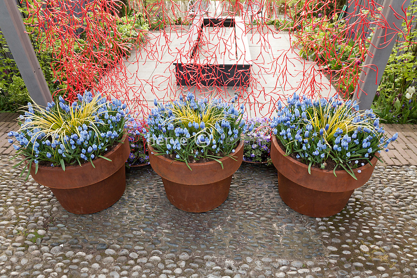 Hollande, région des champs de fleurs, Lisse, Keukenhof, muscaris et Acorus gramineus en pot // Holland, Lisse, Keukenhof, Muscari and Acorus gramineus 'Ogon' in pot