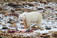 01874-12907 Polar bear (Ursus maritimus) eating Ringed Seal (Phoca hispida)  in winter, Churchill Wildlife Management Area, Churchill, MB Canada