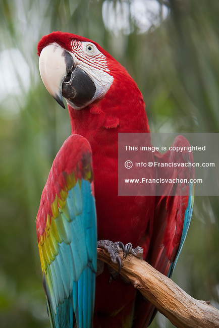 A green winged macaw is seen at Alligator farm Zoological Park in St. Augustine, Florida Sunday April 28, 2013. The Green-winged macaw (Ara chloropterus), also known as the Red and Green macaw, is a large mostly-red macaw of the Ara genus.