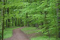 Laubwald im Frühjahr, Laub-Wald, Wald, Buchen, Buche, Fagus sylvatica und Eichen, Eiche, Quercus robur, Wanderweg